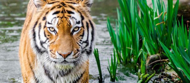 4 Little-Known Facts about Tigers