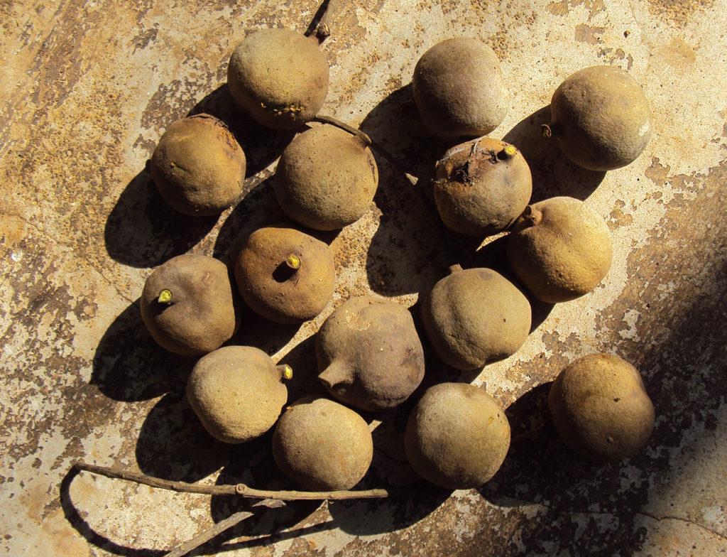 Terminalia Bellerica Fruit for Vegetable Dye by Vinayaraj CC 3.0